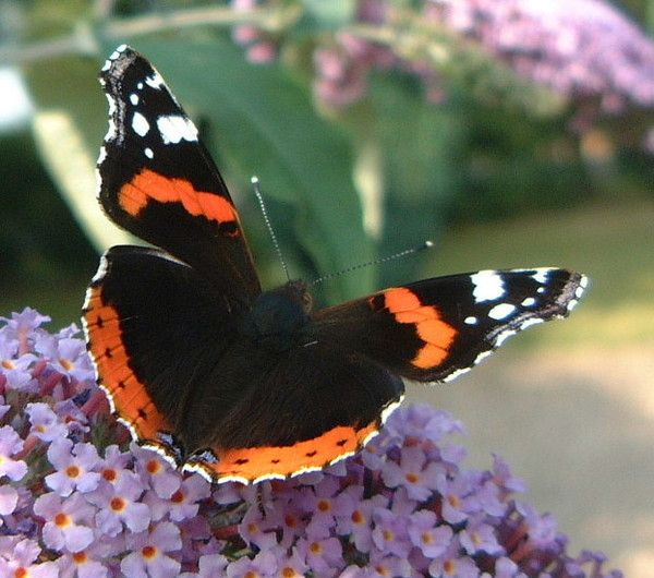 Animaux - Insectes - Papillon - Le Vulcain -