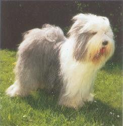 Animaux de compagnie - chiens - le Bobtail -