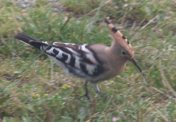 Animaux oiseaux la huppe fasci e huppe for Oiseau commun