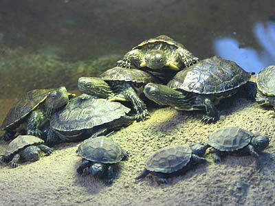 Tortues - Histoire -