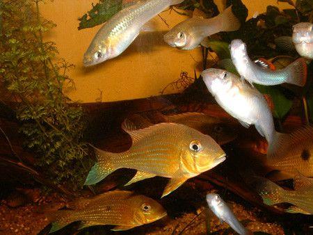 aquariophilie eau douce - Poecilidés -