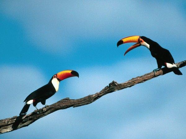 Animaux - Oiseaux - Le Toucan -