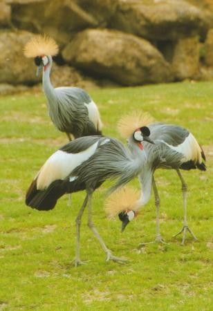 Animaux - Oiseaux - La grue Couronnée -