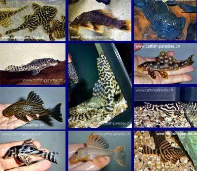 aquariophilie eau douce - locaridés -