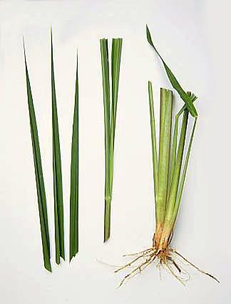 Plantes et herbes aromatiques - la Citronelle -