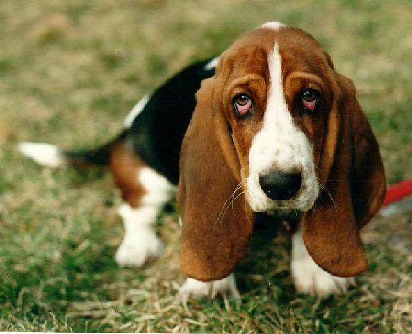 animaux de compagnie  - chiens - Le Basset Hound -