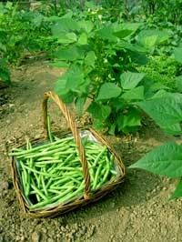 Les légumes - Le haricot vert -
