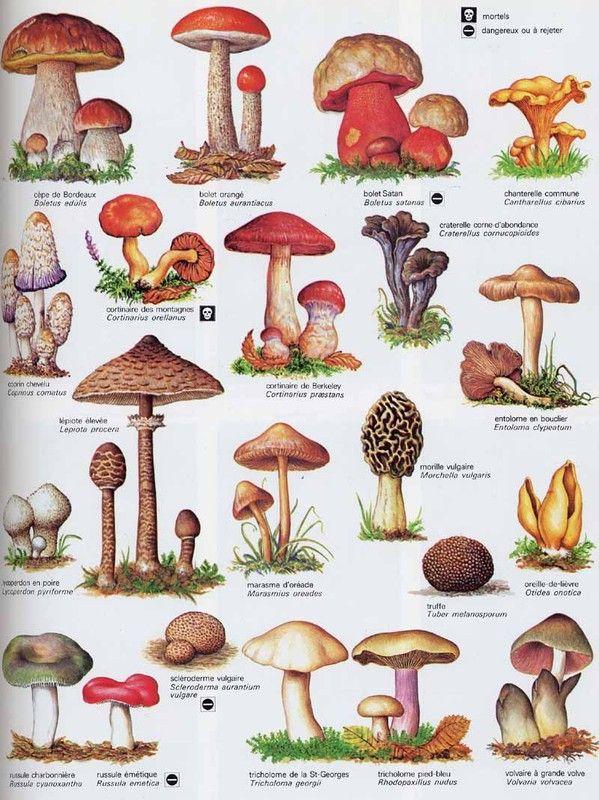 Champignons - La mycologie -