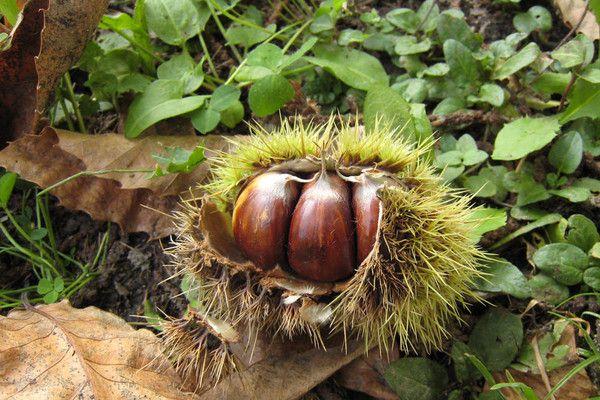 Les fruits - Chataigne -