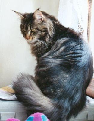 animaux de compagnie- chats - Le Main Coon -