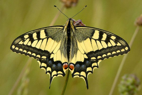 Animaux - Insectes - Papillon -.Le Machaon -