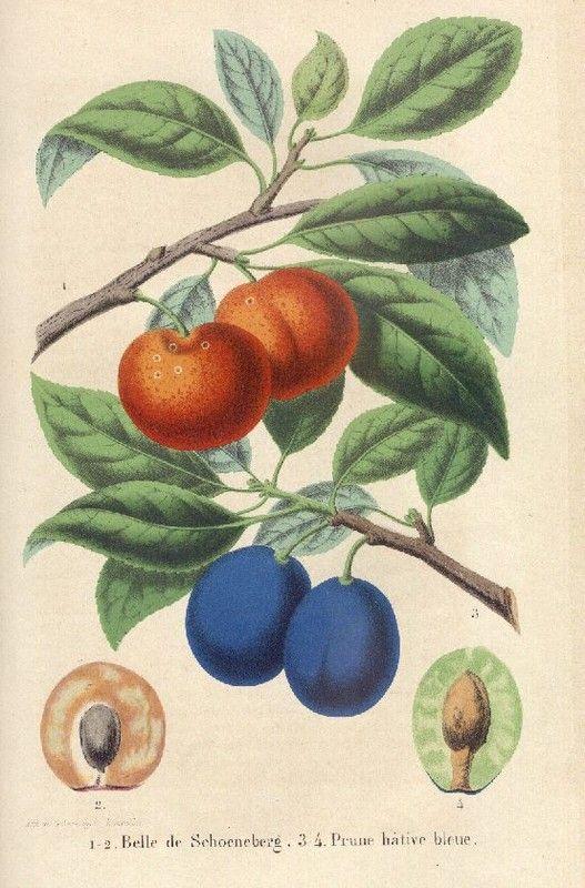 Les fruits - Les prunes -