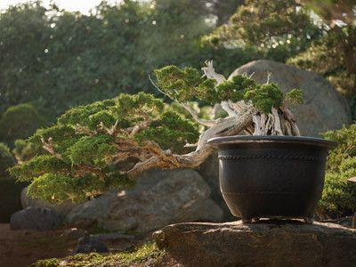 Arbres et arbustes - Le Bonsaï -