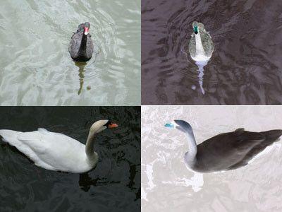 Animaux - Oiseaux - Le cygne - Espèces -