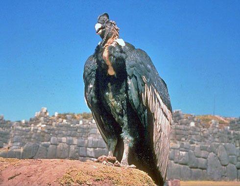 Animaux - Oiseaux - Le condor des Andes -