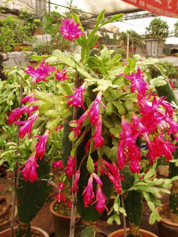 Cactées et plantes succulentes - Le Zygocactus -