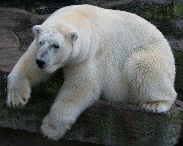 Animaux - Ursidés - Ours Blanc ou Ours Polaire - (2)