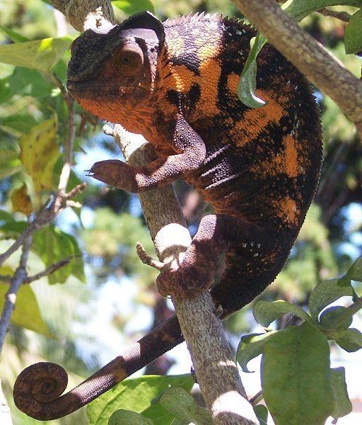Animaux - Lézards - Caméléon panthère -