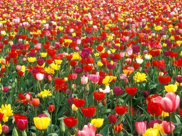 Au jardin - La tulipe -