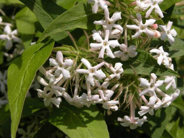 Abelia-triflora-detail-Medium-.jpg