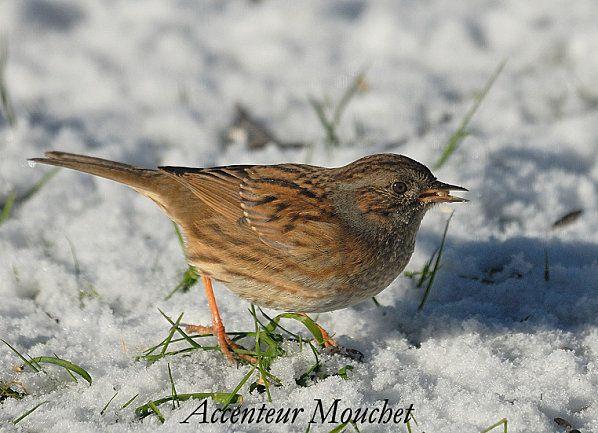 Oiseaux page 3 for Petit oiseau avec houpette