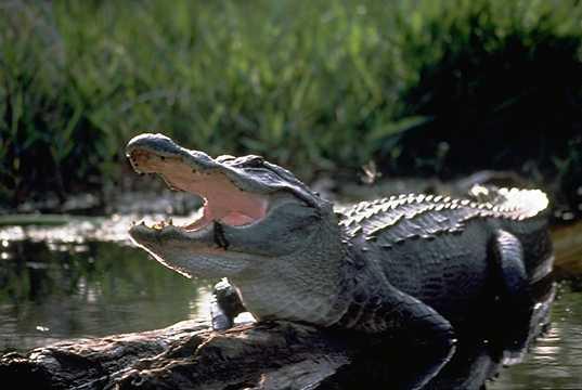 Alligator1201.jpg