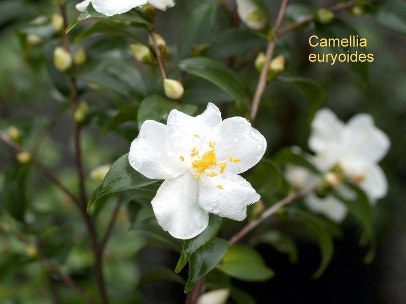 Euryoides-P1012847.jpg