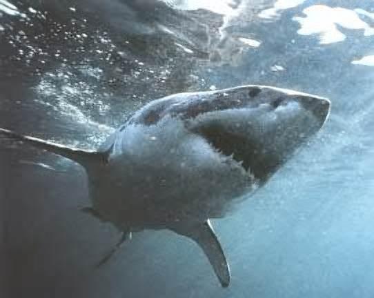 Grand-requin-blanc.jpg