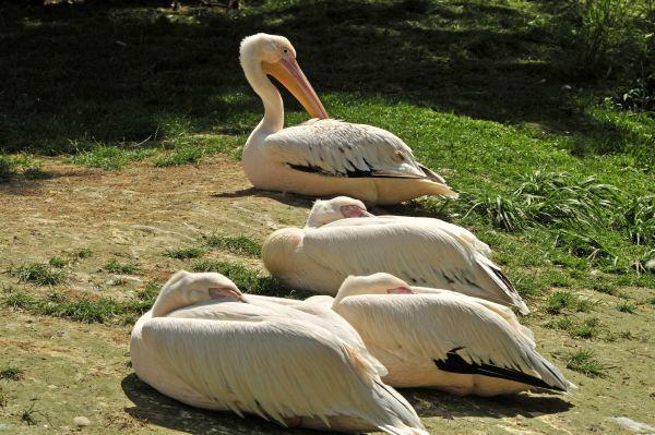 Pelican-blanc_DSC5382.jpg