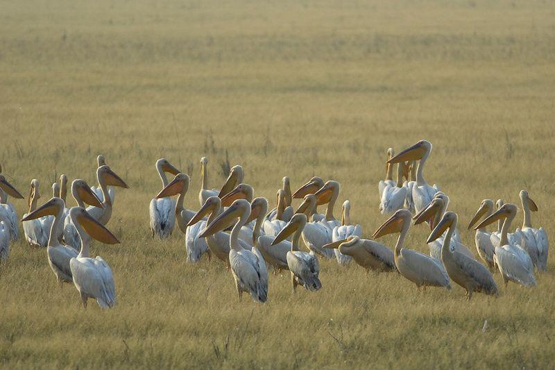 Pelicans-blancs-Maxineni-070709_mai-aout-20092920_web.jpg