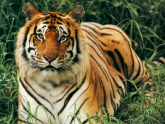 Tigre-Royal-Bengale-5.jpg