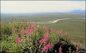 Tundra_coastal_vegetation_Alaska.jpg