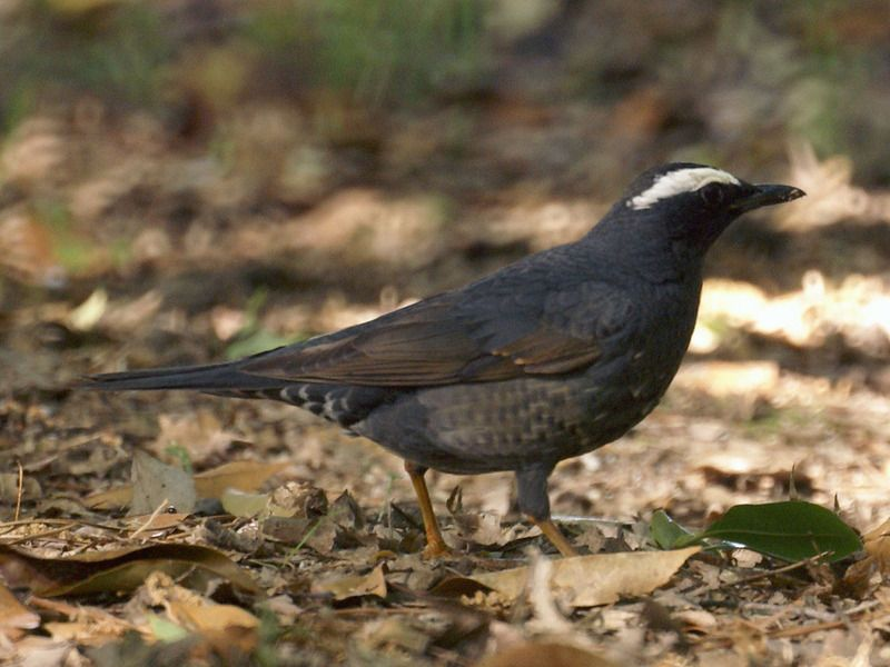 Turdus_sibiricus.jpg