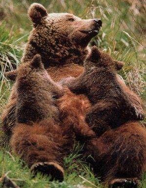 Animaux - Ursidés - Les ours - généralités -