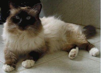 animaux de compagnie chats le sacr de birmanie chat de birmanie blue point. Black Bedroom Furniture Sets. Home Design Ideas