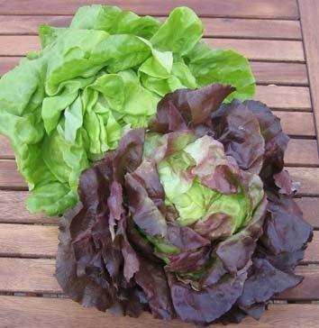 Les légumes - la laitue