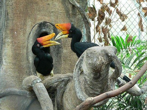 Animaux - Oiseaux - Le Calao -
