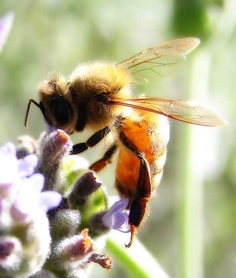 abeille_011.jpg