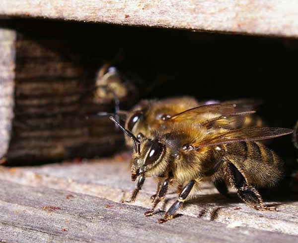 abeille_018.jpg