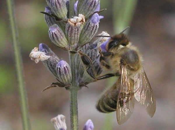 abeille_08.jpg