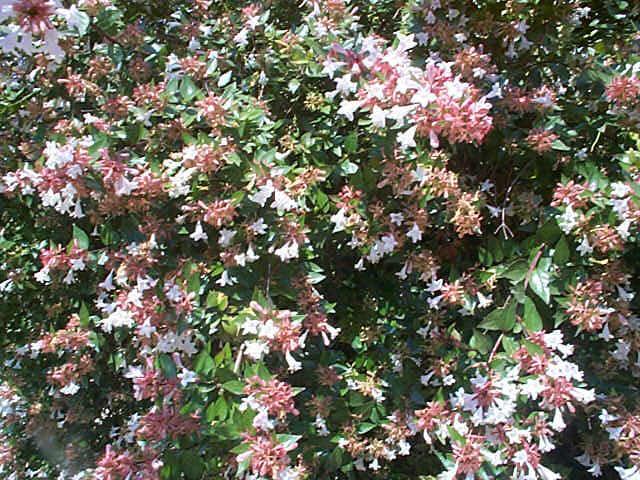 abeliaxgrandiflora_6.jpg