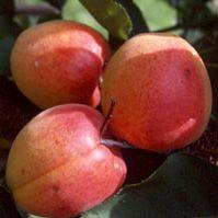 abricot-rougeduroussillon-darnaud.jpg