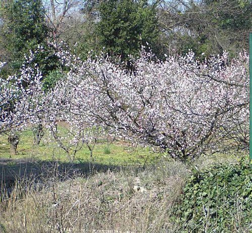 abricotiers-en-fleurs-a-1d0b7d9.jpg