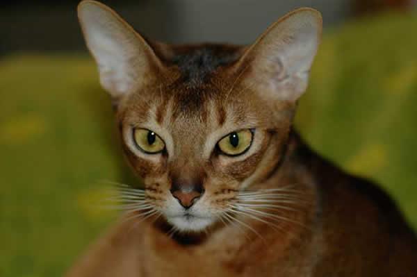 Породы кошек фото пород кошек каталог породы кошки с