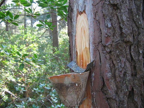 Bois et forêts - Le gemmage -