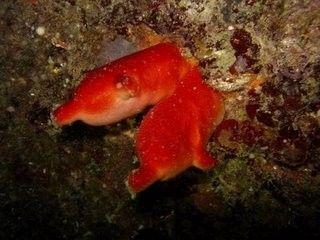 Monde marin - L'Ascidie rouge - Tunicier