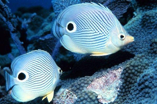 aquariophilie eau de mer - Les poissons papillons -