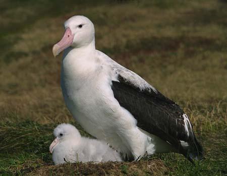 albatros-femelle-poussin.jpg