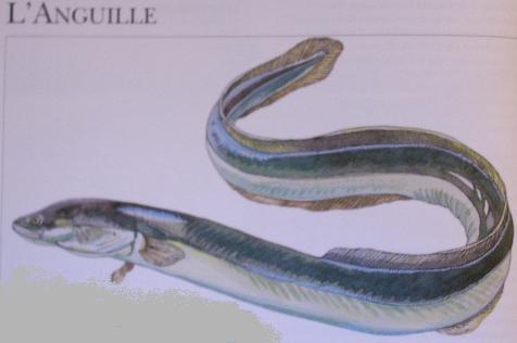 anguille.jpg