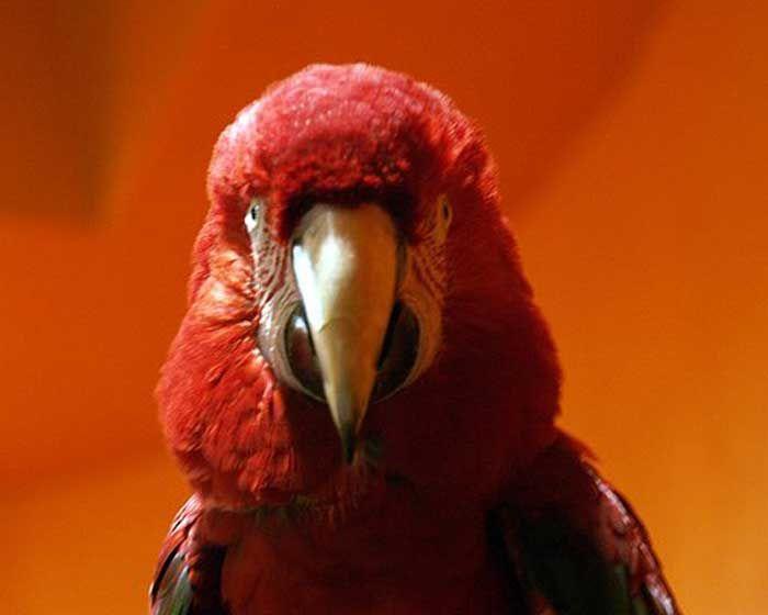 ara-rouge-4-16578db.jpg